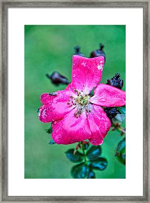 Winter Rose Framed Print by Jan Amiss Photography