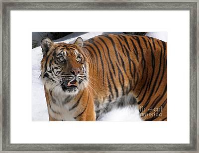 Winter Tiger Framed Print by Dan Holm