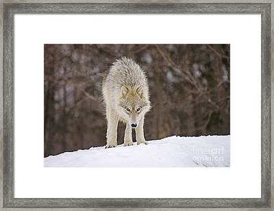 Winter Wolf Framed Print by Joshua McCullough