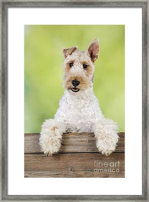 Wire Fox Terrier Framed Print by John Daniels