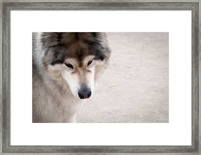 Wolf Dog Framed Print by Julie Magers Soulen