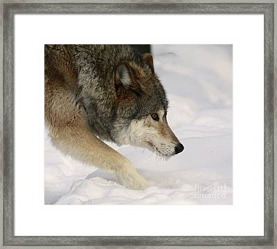 Wolf Dreams Framed Print by Inspired Nature Photography Fine Art Photography