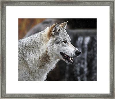 Wolf Smile D9933 Framed Print by Wes and Dotty Weber