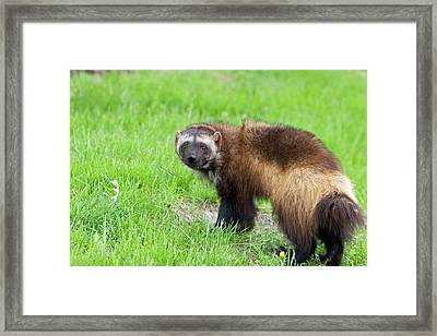Wolverine Framed Print by Jim West