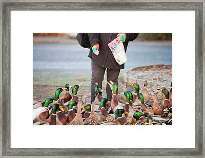 Woman Feeding Mallard Ducks Framed Print by Ashley Cooper