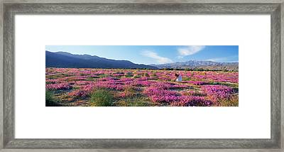 Woman In A Desert Sand Verbena Field Framed Print by Panoramic Images