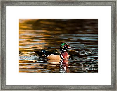 Wood Duck At Morning Framed Print by Robert Frederick