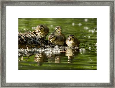 Wood Duck Babies Framed Print by Mircea Costina Photography