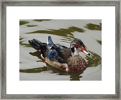 Wood Duck Framed Print by Brenda Brown
