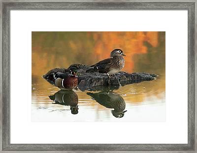 Wood Ducks Framed Print by Dale Kincaid