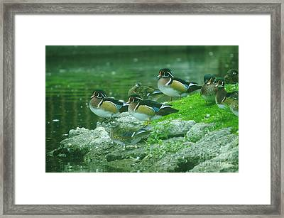 Wood Ducks Hanging Out Framed Print by Jeff Swan