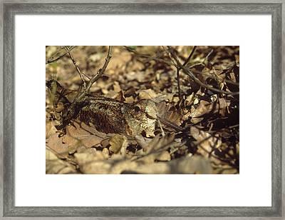Woodcock Framed Print by Dragomir Felix-bogdan