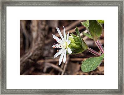 Woodland Flower 20 Framed Print by Douglas Barnett