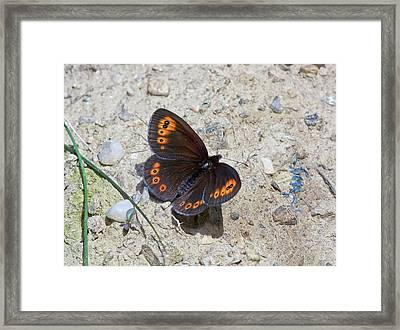 Woodland Ringlet Butterfly Framed Print by Bob Gibbons
