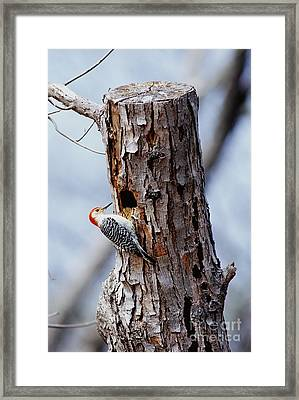Woodpecker And Starling Fight For Nest Framed Print by Gregory G. Dimijian