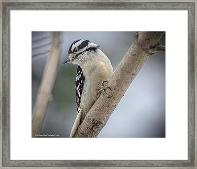 Woodpecker Framed Print by LeeAnn McLaneGoetz McLaneGoetzStudioLLCcom