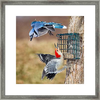 Woodpeckers And Blue Jays Square Framed Print by Bill Wakeley