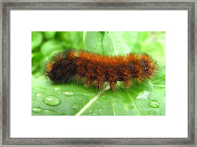 Wooly Bear  Framed Print by Joshua Bales