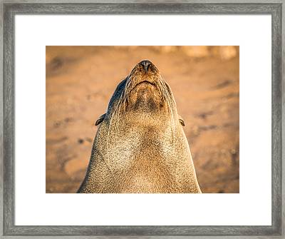 Working On A Tan - Fur Seal Photograph Framed Print by Duane Miller