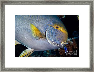 Wrasse Cleaning Surgeonfish Framed Print by David Fleetham