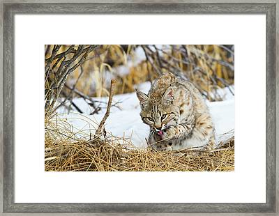 Wyoming, Sublette County, Bobcat Framed Print by Elizabeth Boehm