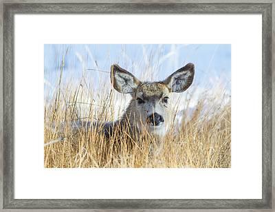 Wyoming, Sublette County, Mule Deer Doe Framed Print by Elizabeth Boehm