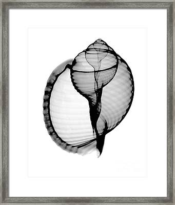 X-ray Of Scotch Bonnet Framed Print by Bert Myers