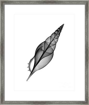 X-ray Of Tibia Shell Framed Print by Bert Myers