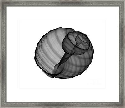 X-ray Of Tun Shell Framed Print by Bert Myers