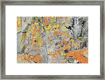Xanthoria Lichen On A Rock Framed Print by Dr P. Marazzi