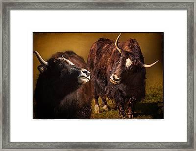Yak Love Framed Print by Priscilla Burgers