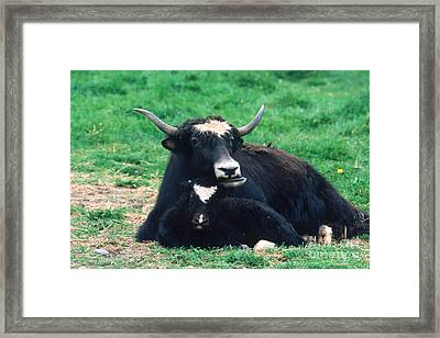 Yak Framed Print by Mark Newman