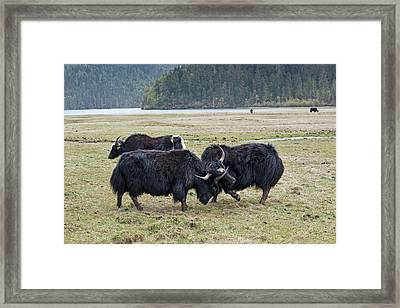 Yaks Fighting In Potatso National Park Framed Print by Tony Camacho