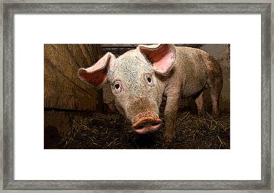 Year Of The Pig Framed Print by John  Bartosik