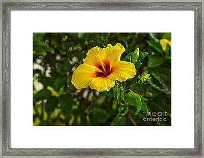 Yellow - Beautiful Hibiscus Flowers In Bloom On The Island Of Maui. Framed Print by Jamie Pham