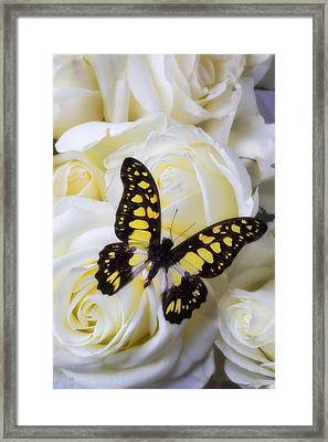 Yellow And Black Butterfly Framed Print by Garry Gay