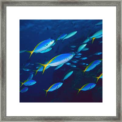 Yellow And Blueback Fusilier School Framed Print by Yoji  Okata