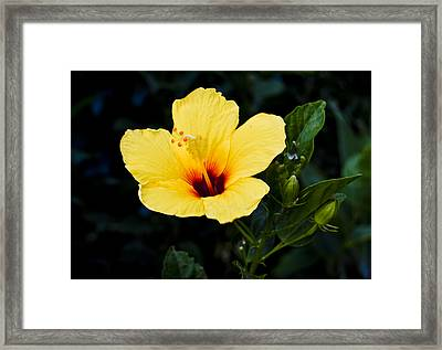 Yellow And Red Hibiscus Framed Print by Christi Kraft