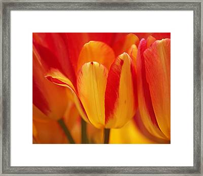 Yellow And Red Striped Tulips Framed Print by Rona Black