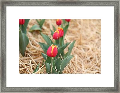 Yellow And Red Tulip - 01132 Framed Print by DC Photographer