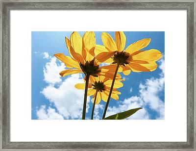 Yellow Aster Flowers Framed Print by Wladimir Bulgar
