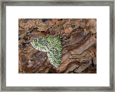 Yellow-barred Brindle Moth Framed Print by Nigel Downer