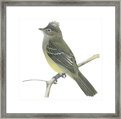 Yellow Bellied Elaenia  Framed Print by Anonymous