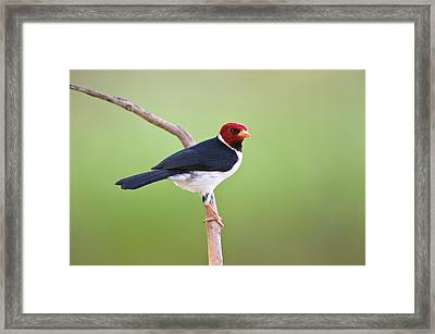 Yellow-billed Cardinal Paroaria Framed Print by Panoramic Images