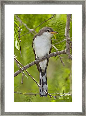 Yellow-billed Cuckoo Framed Print by Anthony Mercieca