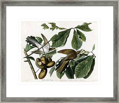 Yellow-billed Cuckoo By John James Audubon Framed Print by Pablo Romero