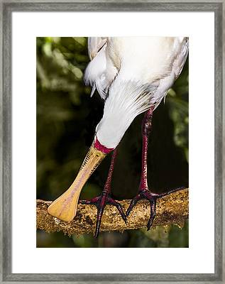 Yellow-billed Spoonbill Framed Print by Mr Bennett Kent