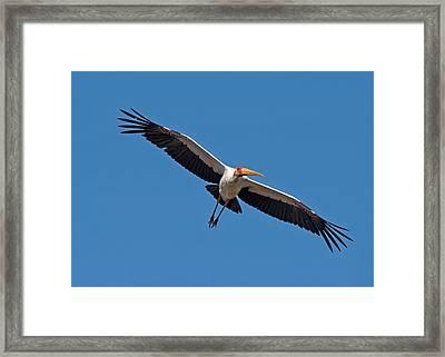 Yellow-billed Stork In Flight Framed Print by Tony Camacho