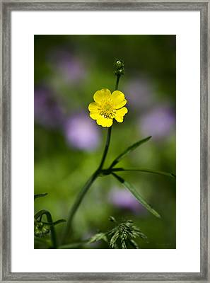 Yellow Buttercup Framed Print by Christina Rollo