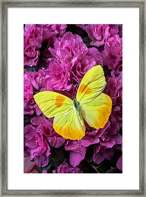 Yellow Butterfly On Pink Azalea Framed Print by Garry Gay